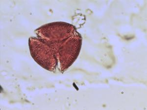 Pollen from the plant Species Cneorum tricoccon.