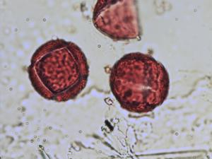Pollen from the plant Genus Pseudofumaria.