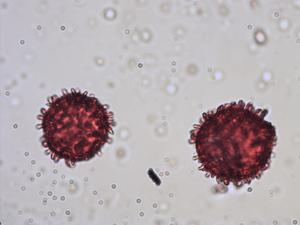 Pollen from the plant Genus Viscum.