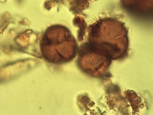 Pollen from the plant Genus Spirostachys.