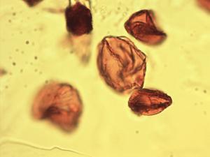 Pollen from the plant Species Equisetum fluviatile.