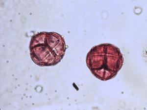 Pollen from the plant Species Erica ciliaris.