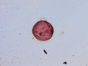 Pollen from the plant Genus Clinopodium.