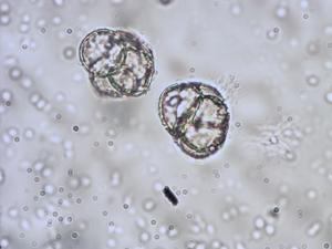 Pollen from the plant Genus Calluna.