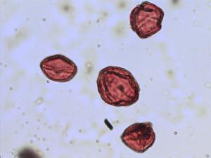 Pollen from the plant Species Rosa canina.
