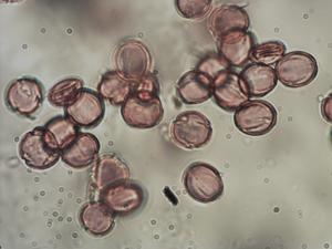 Pollen from the plant Genus Trollius.