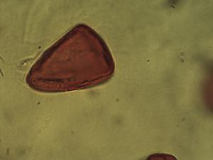 Pollen from the plant Species Carex flacca.