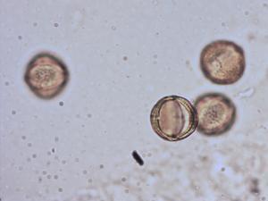 Pollen from the plant Species Artemisia genipi.