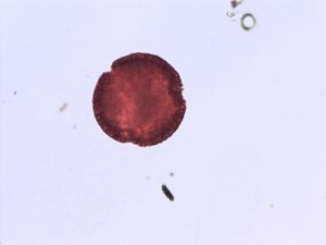 Pollen from the plant Species Cistus laurifolius.