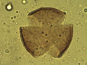 Pollen from the plant Genus Jasminocereus.