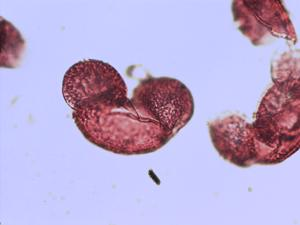 Pollen from the plant Species Pinus halepensis.