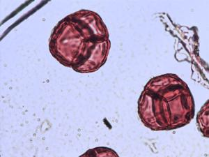 Pollen from the plant Genus Empetrum.