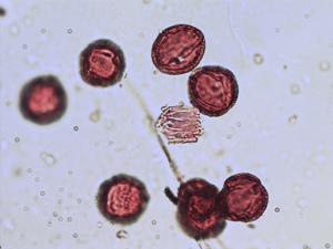 Pollen from the plant Species Mercurialis tomentosa.