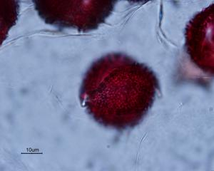 Pollen from the plant Species Arctium minus.