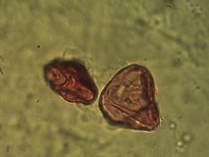 Pollen from the plant Species Carex leporina.