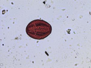 Pollen from the plant Species Acer campestre.