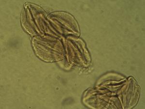 Pollen from the plant Species Euphorbia recurva.