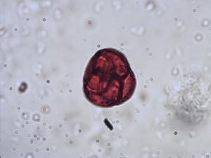 Pollen from the plant Species Rhododendron hirsutum.