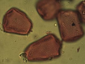 Pollen from the plant Species Carex riparia.