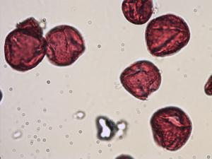 Pollen from the plant Species Quercus suber.