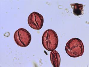 Pollen from the plant Species Sorbus rupicola.