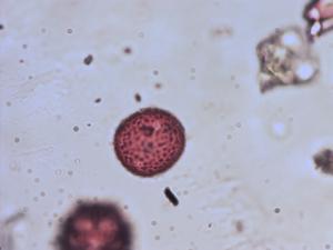 Pollen from the plant Species Plantago major.