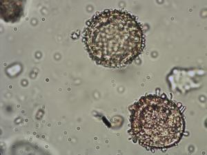 Pollen from the plant Species Nymphaea alba.