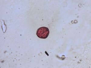 Pollen from the plant Species Veronica officinalis.