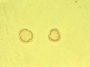 Pollen from the plant Species Scutellaria scordiifolia.