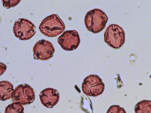 Pollen from the plant Species Geum rivale.