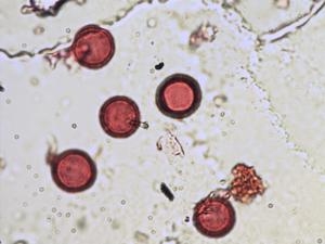 Pollen from the plant Genus Rubia.