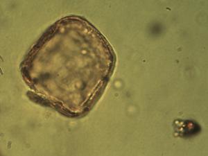 Pollen from the plant Species Eleocharis multicaulis.