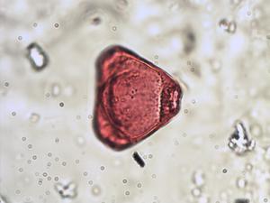 Pollen from the plant Species Fuchsia magellanica.