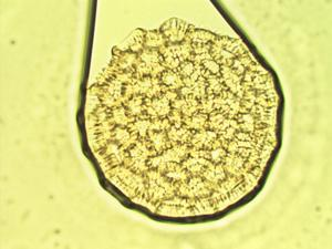 Pollen from the plant Species Persicaria hydropiperoides.