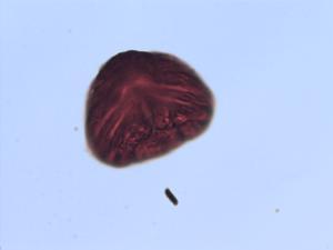 Pollen from the plant Genus Pityrogramma.