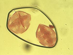 Pollen from the plant Genus Calandrinia.