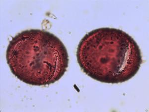 Pollen from the plant Species Linum usitatissimum.