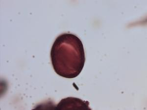 Pollen from the plant Species Lavandula multifida.