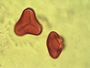 Pollen from the plant Genus Elaeis.