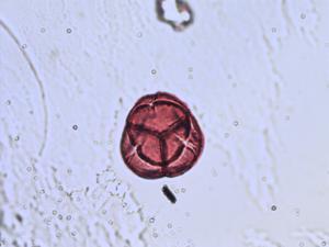Pollen from the plant Species Vaccinium uliginosum.