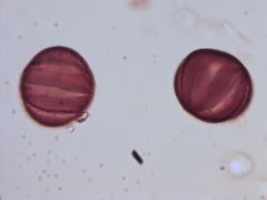 Pollen from the plant Species Salvia glutinosa.