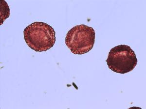 Pollen from the plant Species Ilex aquifolium.