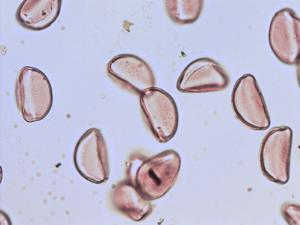 Pollen from the plant Species Allium schoenoprasum.