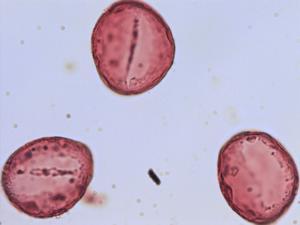 Pollen from the plant Species Polygonatum multiflorum.