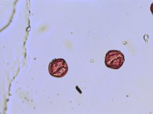 Pollen from the plant Genus Umbilicus.