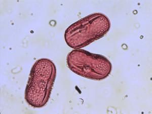 Pollen from the plant Genus Pisum.
