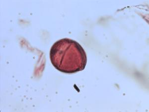 Pollen from the plant Genus Viola.