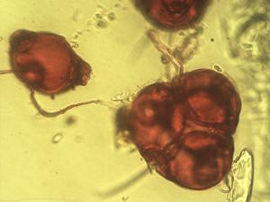 Pollen from the plant Species Epilobium parviflorum.
