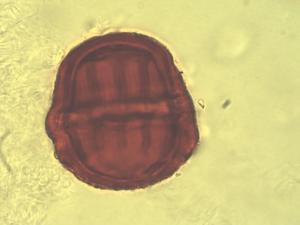 Pollen from the plant Genus Monnina.