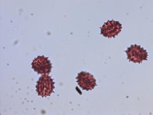 Pollen from the plant Genus Eupatorium.